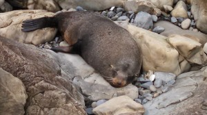 napping seal